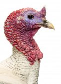 Close-up of a Turkey, Meleagris gallopavo, isolated on white