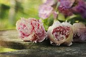Vintage Peonies On Wooden Plank