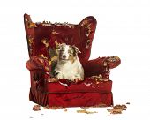 Australian Shepherd puppy, 10 months old, lying on a detroyed armchair, isolated on white