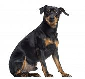 Pinscher and Jagterrier crossbreed, isolated on white, sitting, isolated on white
