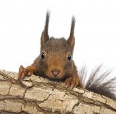 Close-up of a Red squirrel or Eurasian red squirrel, Sciurus vulgaris, hiding behind a branch, isolated on white