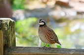 foto of quail  - Northern Bobwhite  - JPG