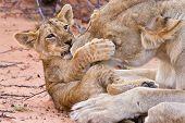 Lion Cub spelen met moeder op zand