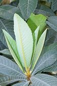 pic of loquat  - closeup of loquat leaves in a botanical garden - JPG