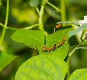 pic of fire ant  - Red ants carrying insect for their food - JPG