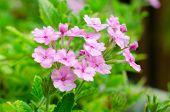 Pink verbena flower