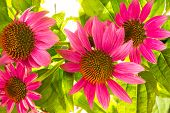 stock photo of naturopathy  - Close up of Echinacea purpurea flowers with their spiny central paleae cultivated as an ornamental garden plant and for use in naturopathy as an immunostimulator - JPG