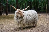 Hungarian 'racka' Sheep