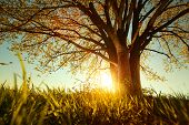 Spring tree with fresh leaves on a meadow at sunset