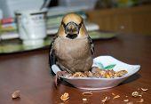 Bird Hawfinch