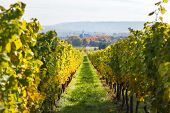 Vineyards In Autumn In Germany Region Rheingau