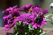 Violet Pink Osteosperumum Flower Daisy in garden