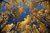 Aspens in Tumwater Canyon
