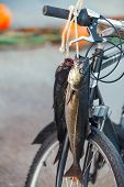 Norwegian Fisherman's Catch. pollock Fishes Hanging On Bicycle