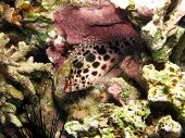 stock photo of hawkfish  - A spotted pixie hawkfish hides inside dead coral - JPG