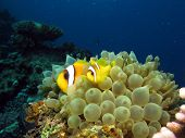 Anemonefish couple