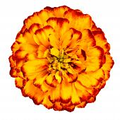 Yellow Orange Marigold Flower Isolated On White Background