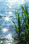 picture of cattail  - sun light sparkle on wave in river and cattail - JPG