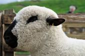 Portrait Of A Hampshire Down Sheep, With Its Woolly Poll