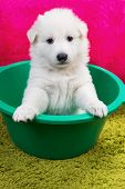 picture of swiss shepherd dog  - Baby swiss shepherd sitting in green wash - JPG