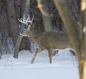 Huge Ten Point Buck Behind Tree