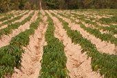 Cassava Growers.