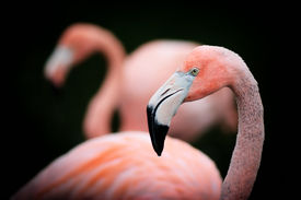 picture of pink flamingos  - a detailed close up of a young american flamingo still showing hints of grey in it