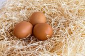 Chicken Eggs In The Straw.