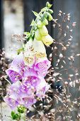 picture of digitalis  - Pink Digitalis purpurea or Foxglove behind summer grass - JPG
