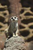 Meerkat Sits On Rock.