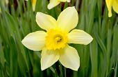 Beautiful Daffodil In Garden