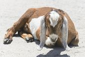 stock photo of anglo-nubian  - A young anglo-nubian goat rests in the hot July sun at the farm of the American poet Carl Sandburg.