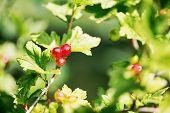 Alpine Currant Or Ribes Alpinum