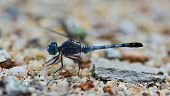 Blue Dragonfly (coenagrionidae) Standing On Gravel ; Selective Focus At Eyes  With Blur Background