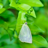 White Butterfly Hanging On Green Leaf  ; With Soft Focus And Blur Background
