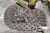 Dusky Pigmy Rattlesnake (sistrurus Miliarius Barbouri)