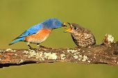 Eastern Bluebirds (sialia Sialis)
