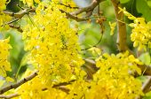 picture of cassia  - Golden shower or Cassia fistula flower in the garden or nature park Thailand - JPG