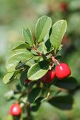 Cowberry Shrub With Red Berries Closeup Vertical