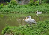 white pelican - Pelecanus onocrotalus - standing at the waterside