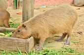 Capybara Eat Grass