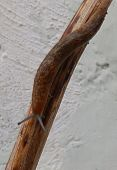 stock photo of slug  - A long brown slug on a stick - JPG