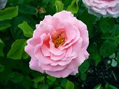 Rosa gallica- pink rose