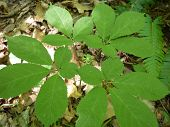 Four Prong Ginseng Plant
