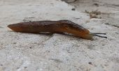 foto of slug  - A big brown slug walking on cement - JPG
