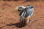 Grey Crowned Crane (balearica Regulorum).