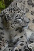 stock photo of panthera uncia  - Snow leopard at the zoo in Zurich - JPG
