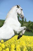 Amazing White Lipizzaner Prancing In Spring
