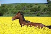 Beautifull Brown Horse Running In Yellow Flowers