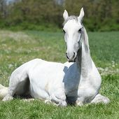 picture of lipizzaner  - White horse lying on green grass in spring - JPG